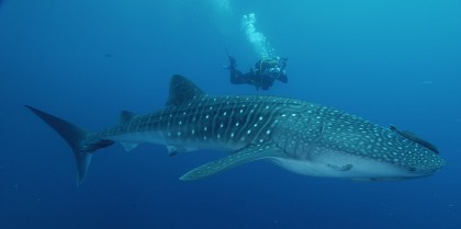 Expert led tours. Whale shark